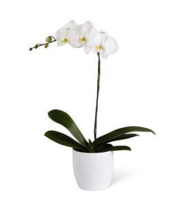 Photo of flowers: Phalaenopsis Orchid Plant