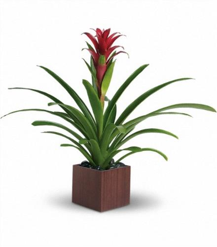 Photo of flowers: Bromeliad Beauty