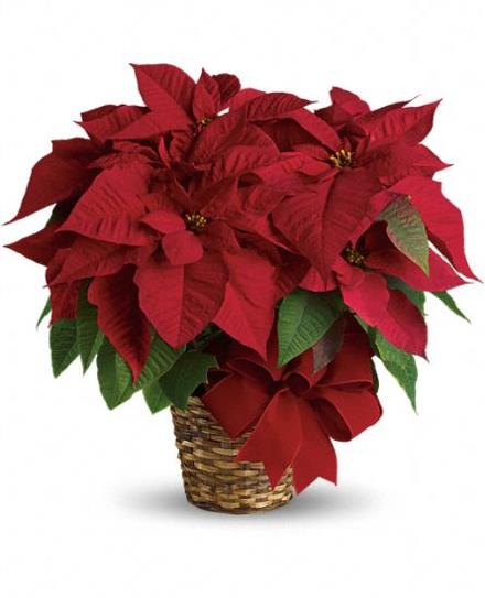 Photo of flowers: Red Poinsettia