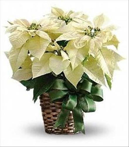 Photo of flowers: White Poinsettia in Basket