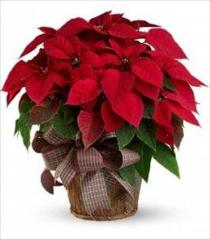 Photo of Red Poinsettia Large  - T122-3