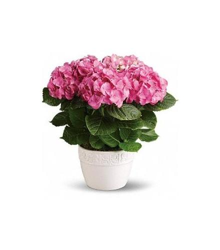 Photo of flowers: Happy Pink Hydrangea Plant