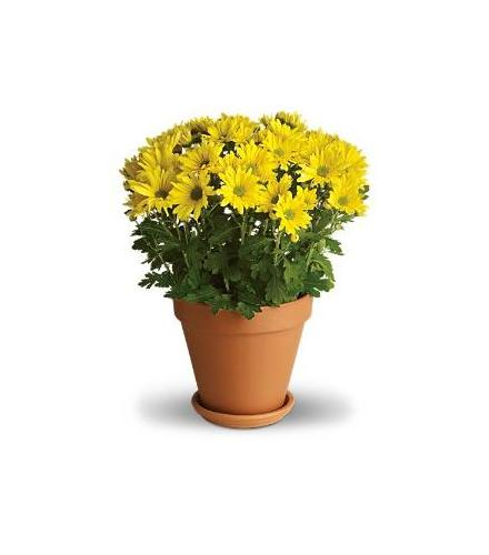 Photo of flowers: Sweet Mum Pot May be in Wicker