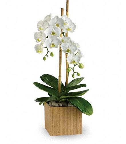 Photo of flowers: Opulent Orchid Plant