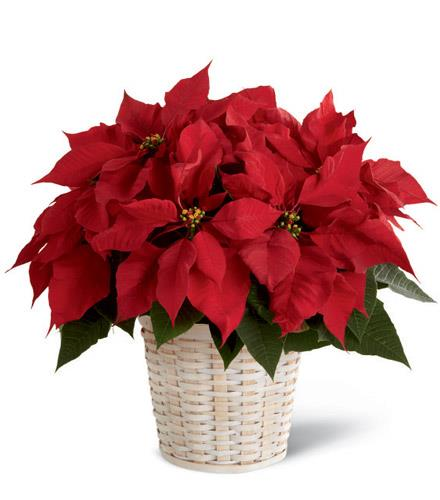 Photo of flowers: Red Poinsettia Basket