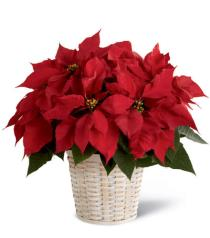 Photo of Red Poinsettia Basket  - B13-3601