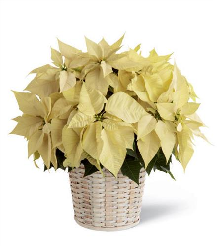 Photo of flowers: White Poinsettia Basket (Larger)
