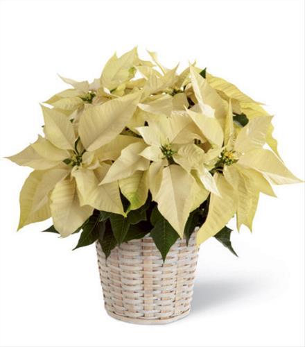 Photo of flowers: White Poinsettia Basket (Small)
