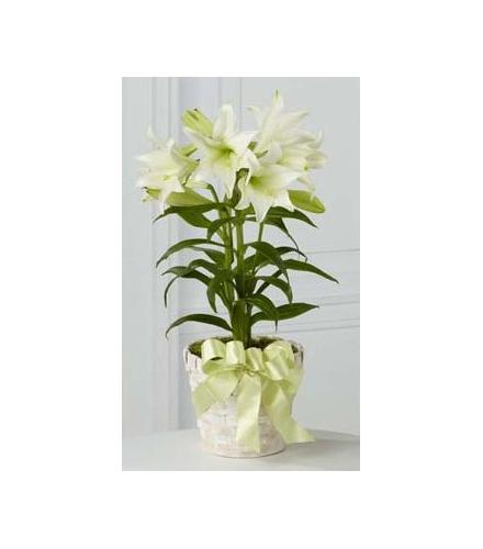 Photo of flowers: Easter Lily Multiple Plants