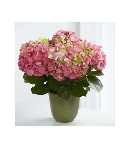 Photo of flowers: Hydrangea Plant pink