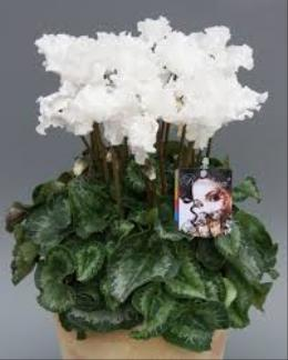 Photo of Cyclamen White - C24-4880