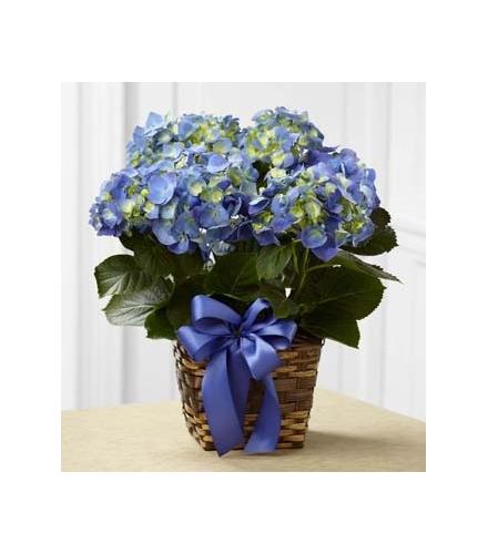 Photo of flowers: Blue Hydrangea Plant