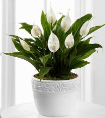 Photo of Calming Grace Peace Lily Plant - PA05