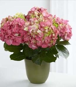 BF7241/C24-4878 - Pink Hydrangea Plant