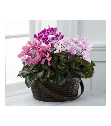 Photo of flowers: Mixed Cyclamen Planter