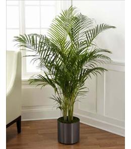 Photo of Palm Plant  Local Delivery  - C28-4891