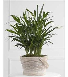 Photo of Palm Planter   Local Delivery  - S51-4569