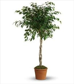 Photo of Ficus Tree  Local Delivery  - T104-1