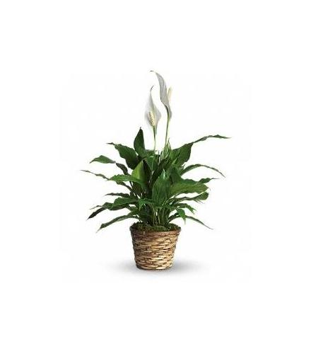 Photo of flowers: Spathiphyllum Peace Lily  Medium