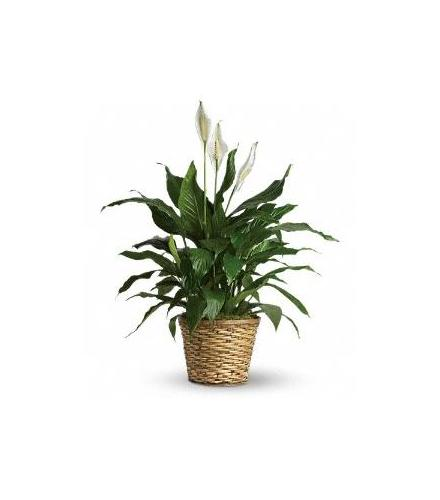 Photo of flowers: Spathiphyllum - Peace Lily  Large
