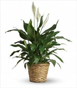 Photo of  Spathiphyllum - Medium Local Delivery - T105-2