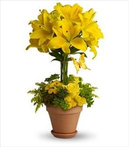 Photo of Yellow Fellow Lilies  - T56-1
