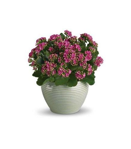 Photo of flowers: Bountiful Kalanchoe