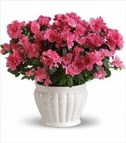 Photo of Pretty in Pink Azalea - T91-3