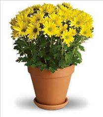 Photo of Sweet Mum Pot May be in Wicker  - T95-1