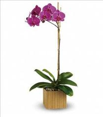 Photo of Purple or White Orchid in suitable container - T98-1