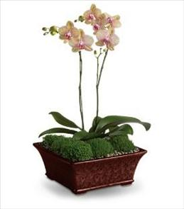 Photo of Divine Orchid Plant Double Spike - T99-1